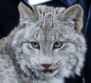 Here, kitty, kitty. Point Defiance Zoo, Tacoma